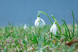 Snowdrops(galanthus) flowers.