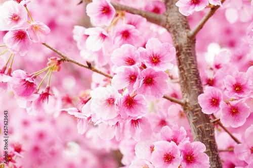 満開に咲く桜の花を本当に美しい
