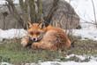 canvas print picture - Fuchs, Winter