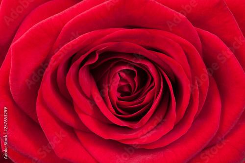 fototapeta na ścianę Red rose petals, close up