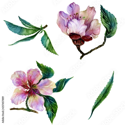 Beautiful peach tree flower on a twig. Floral set of two twigs in pink and red color. Spring flourish illustration. Isolated on white background. Watercolor painting. Hand drawn. © katiko2016