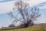 Fototapeta Fototapety na sufit - Drzewo na polu © Kamil