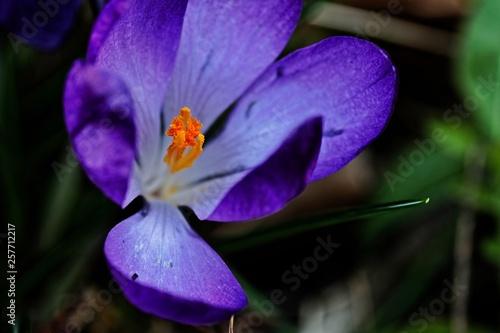 Makroaufnahme eines violetten Krokus - 257712217