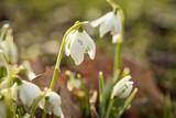 Weiße Schneeglöckchen Galanthus Nivalis Blume im Sonnenschein des Winter Frühling Garten als Frühlingsbote
