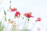 Field of poppy flowers, spring