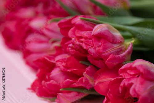 Tulips background. A bouquet of red and pink spring tulips on a colorful background