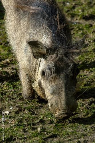 Savannah pig Phacochoerus africanus africanus in zoo © Tylinek
