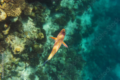 fototapeta na ścianę colorful fishes and corals, underwater life in Maldives, snorkeling and diving in exotic destination