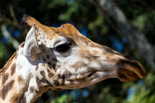 A close-up of a giraffe's head
