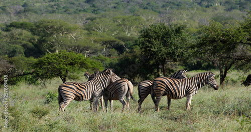 zebras in the savannah in south africa © smallcreative