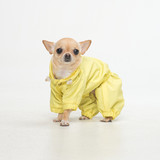funny chihuahua in yellow jacket on gray background.