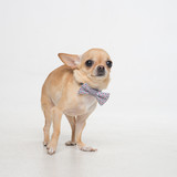 chihuahua in butterfly on gray background in studio.