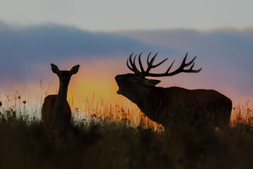 Red deer, cervus elaphus, couple during rutting season at night. Roaring wild stag at sunset. Wildlife scenery on a horizon with orange color in background.