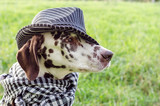 portrait of a dalmatian dog in a striped hat and checkered scarf