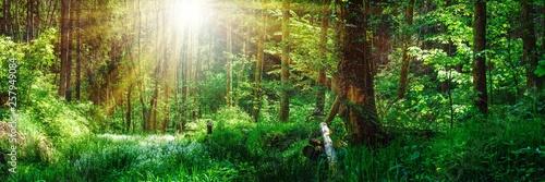 Panorama Landschaft, Wald im Frühling mit Sonnenstrahlen durch die Bäume - 257949084