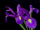Irises on a black background