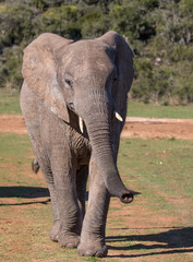 Africa Elephant Walking towards Camera