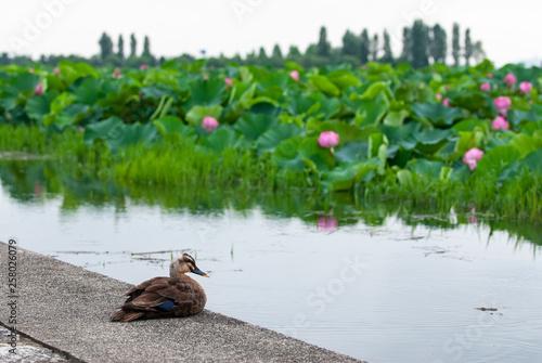 カモと蓮 © sigmaphoto