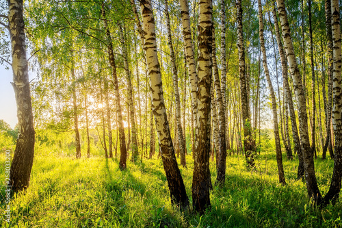 Summer birch forest. - 258033200