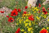 Poppy, Armenia, Caucasus