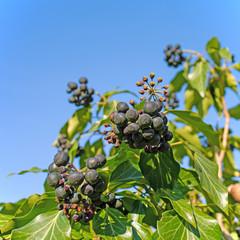 Früchte vom Efeu, Hedera helix
