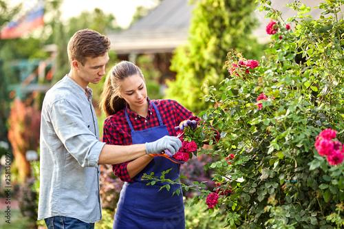 fototapeta na ścianę Guy and girl gardeners cut the rose bush in the wonderful garden on a sunny day.