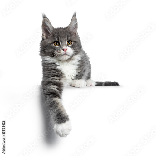 Leinwandbild Motiv Charming cute blue with white Maine Coon cat kitten, laying down. Looking beside lens with smart brown eyes. Isolated on white background. Paw hanging down from edge.