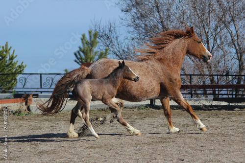 mother mare and born a week ago American fox breed foal running around