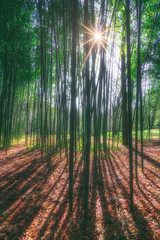 sunny bamboo forest with sun rays © mimadeo