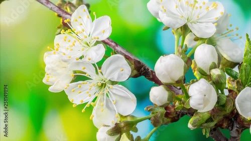 Cherry flowers blossoming in the nature background. Time Lapse video. © volff
