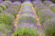 flourishing fields of lavender