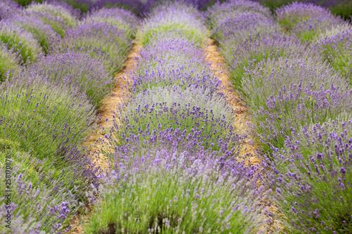 flourishing fields of lavender - 258170878
