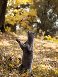 Playful Russian blue cat playing with leaf in park outdoors
