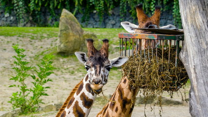 11650_Two_brown_giraffe_eating_the_grasses_from_the_cage.jpg