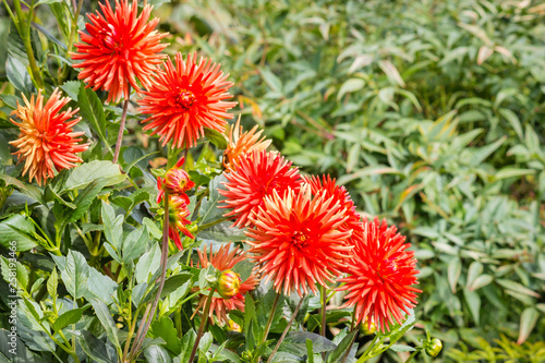 closeup of bright red dahlia flowers in bloom in garden with blurred background