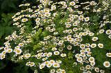 In nature bloom chamomile Dalmatian