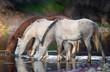 Wild Horses in River - 258234245