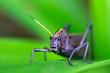 A Lubber Grasshopper (Taeniopoda reticulata) in Costa Rica.