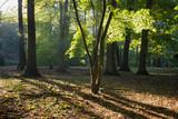 Fototapeta Fototapeta las, drzewa - Laubwald im Gegenlicht, Nordrhein-Westfalen, Deutschland, Europa © lichtbildmaster