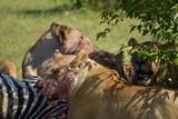A pride of Lions in the Masai Mara, Kenya, eating their Zebra kill.