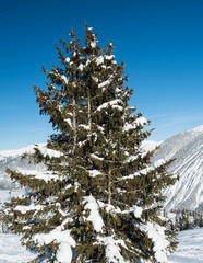 Panoramic view down snow covered valley in alpine mountain range with conifer pine trees © Paul Vinten