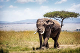 Big African elephant walking forward down path in open field of Mara Triangle in Kenya Africa