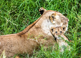 Mother Lion and Baby Cub in Kenya Africa