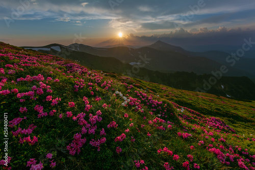 A beautiful summer landscapes in the Ukrainian Carpathian Mountains, covered with flowering rhododendron with millions of magic flowers, covered around.