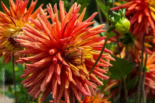 Blooming dahlia kaktus Gatsby