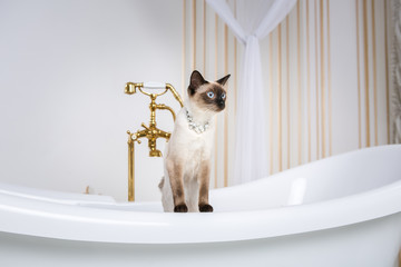 The theme is luxury and wealth. A cat without a tail of the Mekong Bobtail breed in a retro bathroom in the interior of the Barocoo Versailles Palace. Jewel jewelery on the neck
