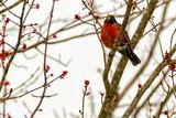 American Robin in maple tree 5497