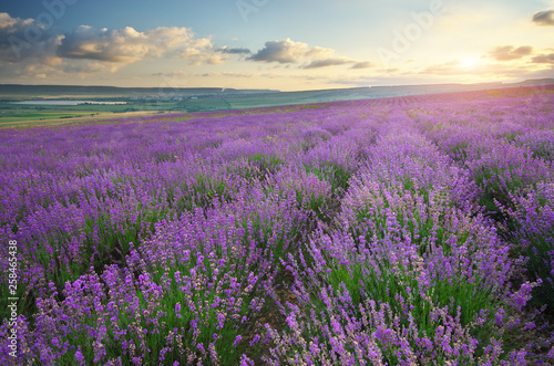 Meadow of lavender at sunset. - 258465438