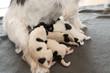 Newborn dog puppies - 2 days old - Jack Russell Terrier doggies  drinking milk on her mother