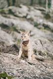 Traveler cat walking on rocky terrain.